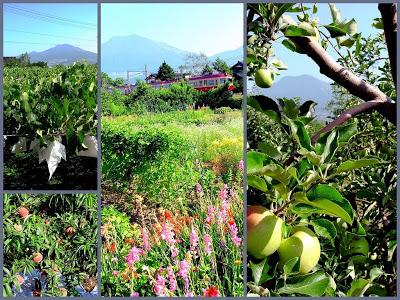 山ノ内町-loco, farm-猛暑の中、山ノ内では果物も育っています。