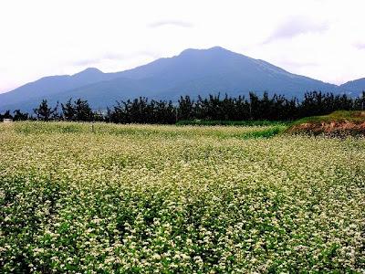 山ノ内町-yamanouchi-そばの花が満開です