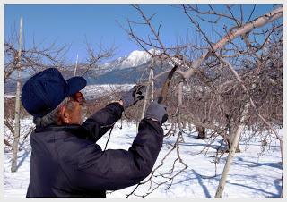 山ノ内町-yamanouchi-2・23「富士山の日」高井富士を背にリンゴの剪定