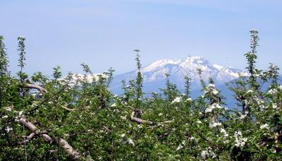 山ノ内町-yamanouchi-山ノ内町は今、リンゴの摘花が進んでいます