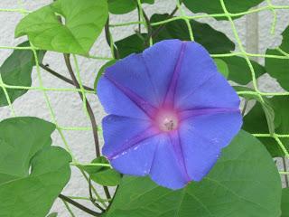 山ノ内町-yamanouchi-イリオモテアサガオが咲きました。0708