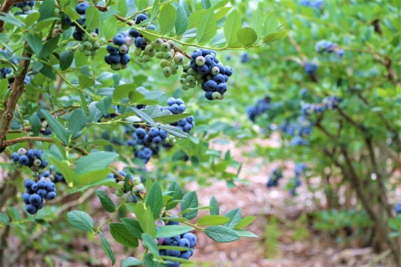 農業-agri-ブルーベリー