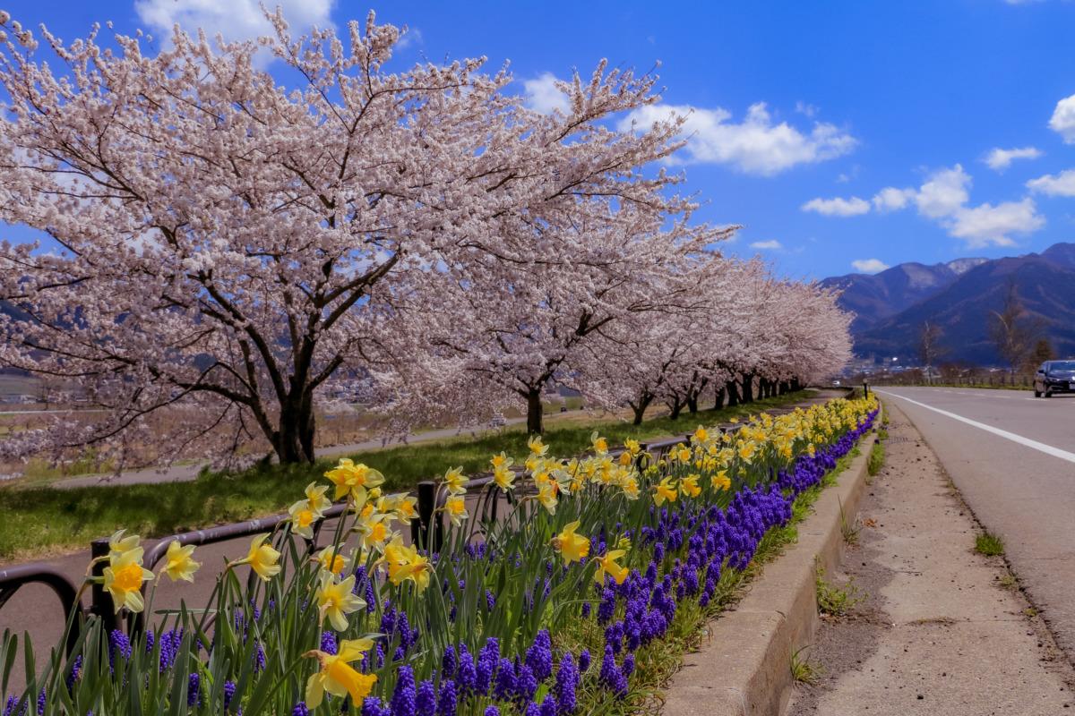 山ノ内町桜-flower-info-国道292北信濃花街道