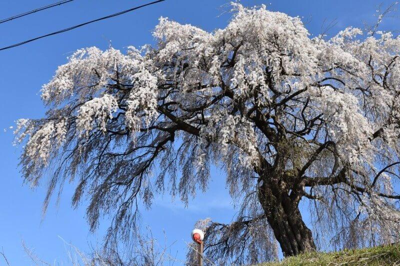 ユネスコエコパーク-scenery-大久保の桜が満開です