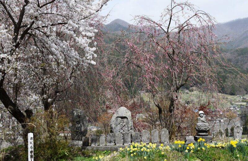 ユネスコエコパーク-scenery-桜満開