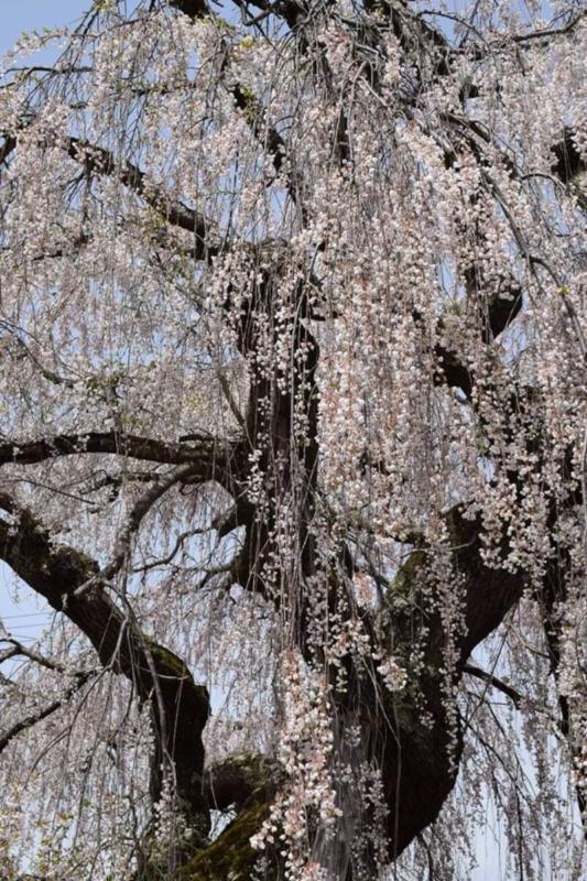 山ノ内町ユネスコエコパーク-yamanouchi-桜満開