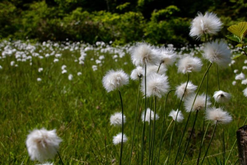 山ノ内町花, 志賀高原, pickup-tourismwork-志賀高原で6ー7月に見られる高山植物