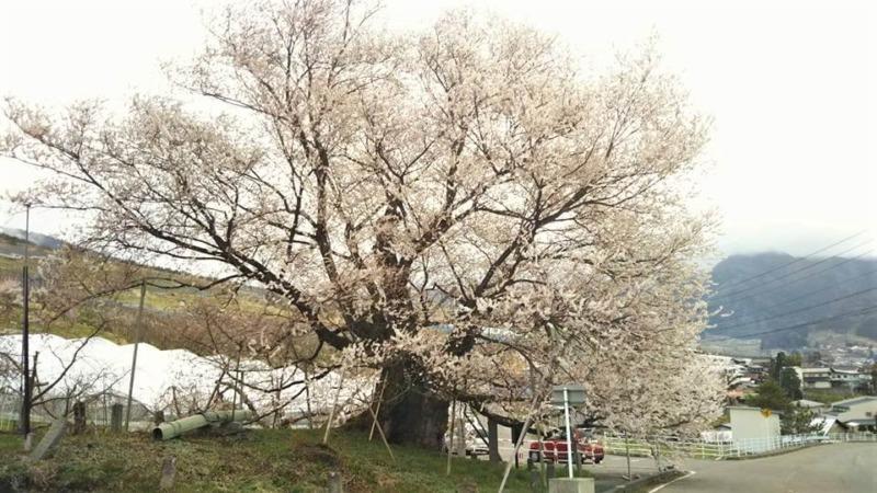 山ノ内町桜-flower-info-宇木の千歳桜