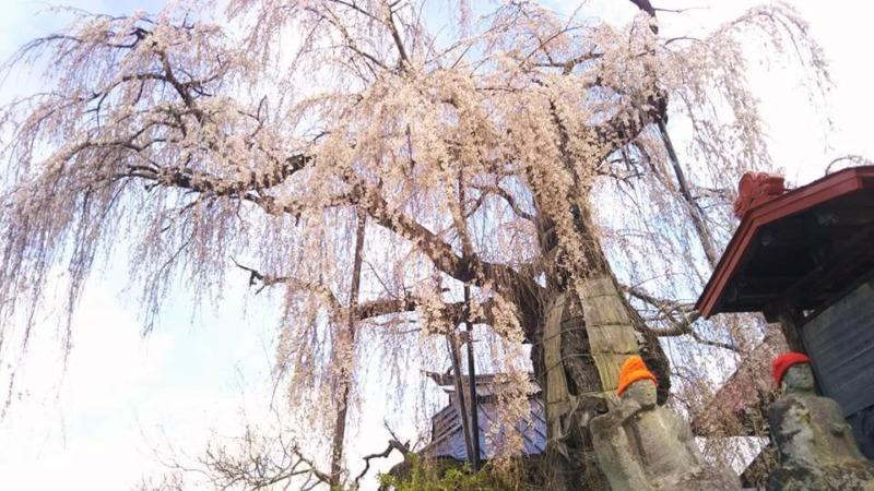 山ノ内町桜-flower-info-隆谷寺のしだれ桜