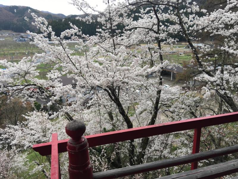 山ノ内町桜-flower-info-山内稲荷社の桜