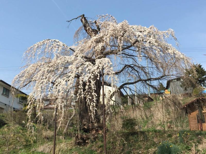 山ノ内町桜-flower-info-大日庵の源平しだれ桜