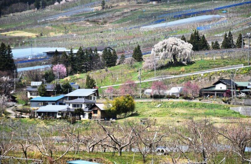 山ノ内町ユネスコエコパーク-yamanouchi-大久保の桜が満開です