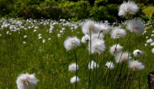 志賀高原で6ー7月に見られる高山植物