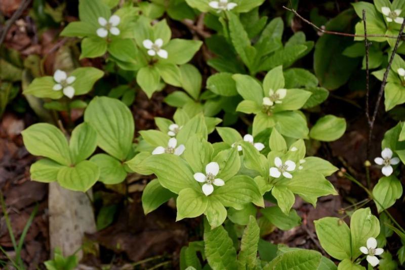 山ノ内町ユネスコエコパーク-mt-志賀高原 遊歩道沿いの植物
